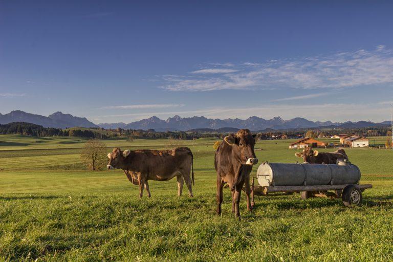 Kühe vor Allgäueralpen