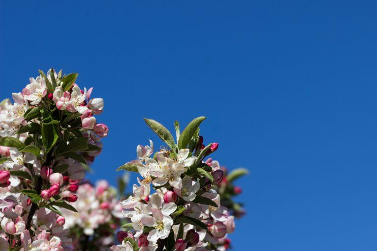 Japanische Apfelblüte